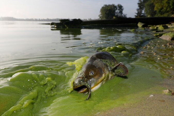 Dead fish in algae bloom