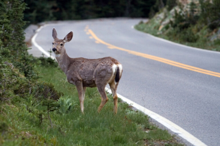 Deer on the side of a road